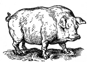 pigdrawing