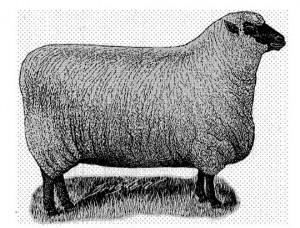 SheepPublicDomain2
